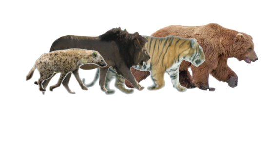 Size comparison of spotted hyena , African lion , Siberian