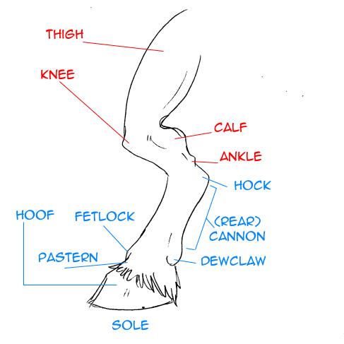 Pin by Jean-Paul Jordaan on Animal Anatomy | Pinterest | Animal anatomy
