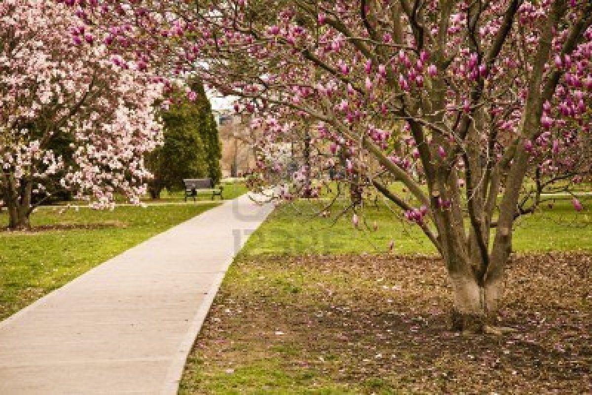 Magnolias Spring Cleveland Ohio Ohio Magnolia