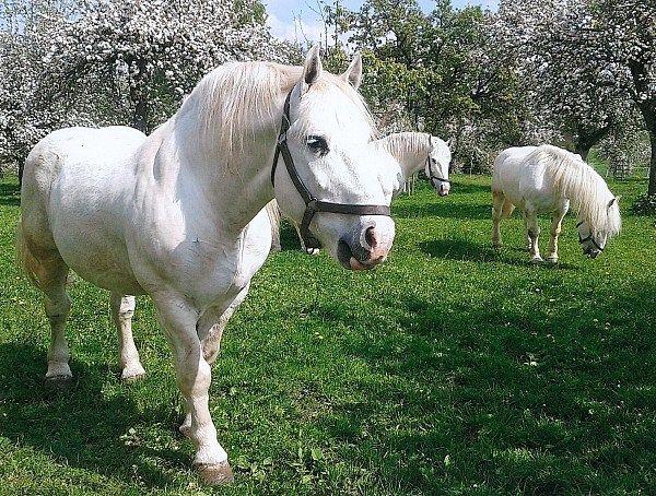 boulonnais pass gespann zu verkaufen pferde kaufen in. Black Bedroom Furniture Sets. Home Design Ideas