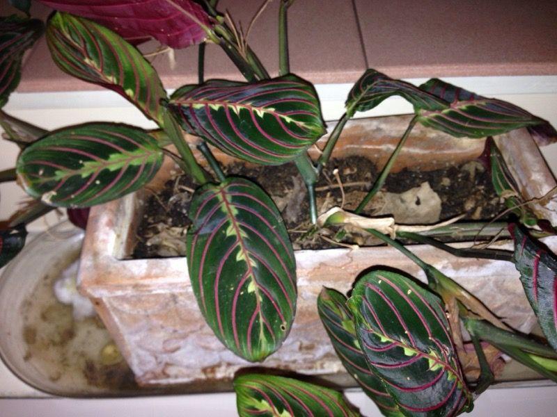 Free Plant Identification | Prayer plant, Plants, Easy to ... on