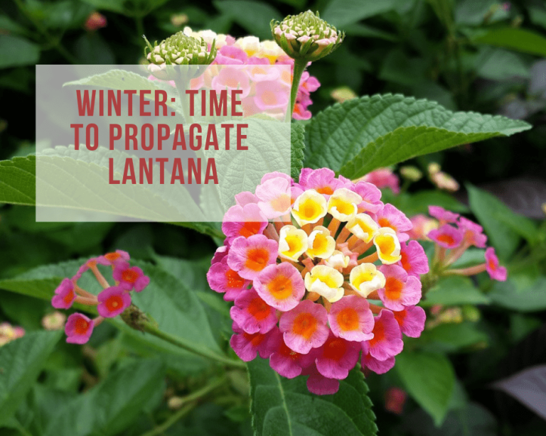 How To Propagate Lantana With Cuttings Gardenologist In 2020 Lantana Propagation Giving Flowers