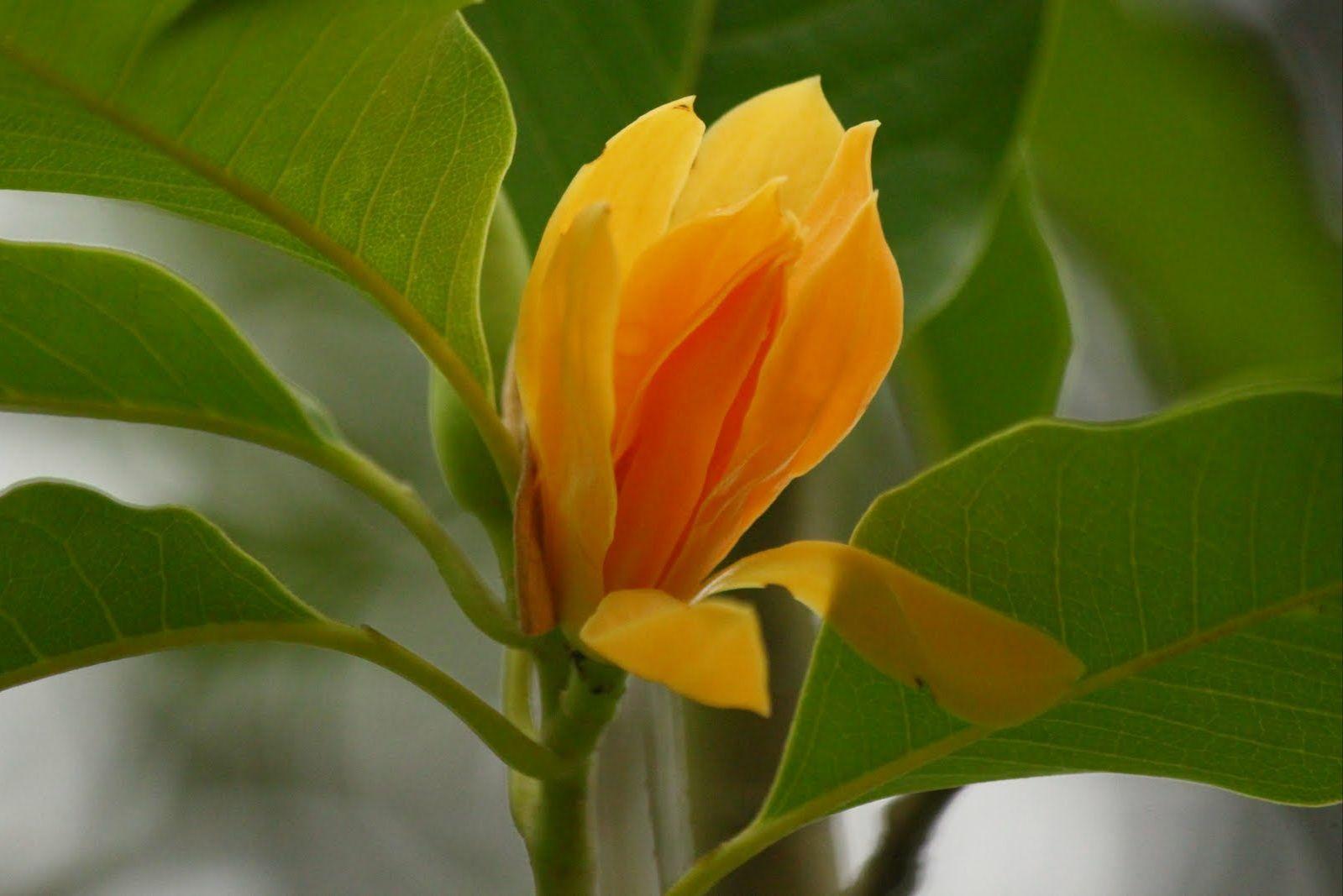Gambarbungacempaka4.jpg Hoa đẹp, Hoa