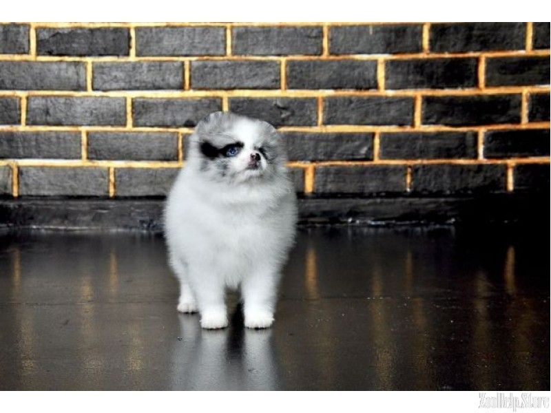 Pomeranian For Sale Near Me Pomeranian For Sale Maryland Pomeranian For Sale Virginia Pomeranian Fo Pets For Sale Pomeranian For Sale Pomeranian Puppy For Sale