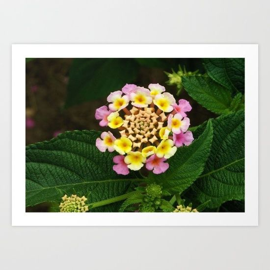 Lantana is a genus of about 150 species of perennial flowering lantana is a genus of about 150 species of perennial flowering plants native to mightylinksfo Image collections