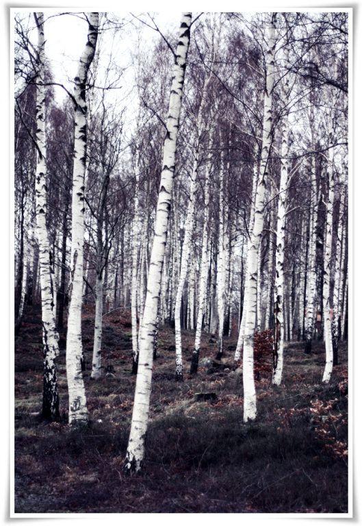Birch Trees in winter via Scandinavian blog Helt Enkelt