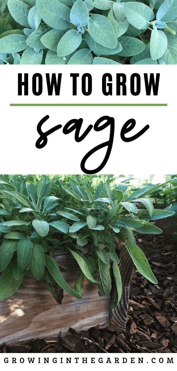 How to Grow Sage Tips for Growing Sage Backyard