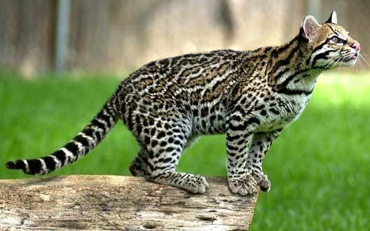 Parcs, réserves La Guyane | Ocelot, Animaux beaux et