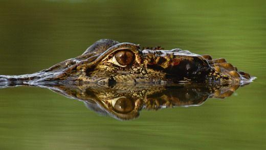 Black caiman, Melanosuchus niger, Manu National Park, PeruPhoto: Mint Images - Frans Lanting