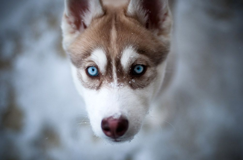 Husky Puppy Dog Portrait Blue Eyes Closeup Snowflakes Winter