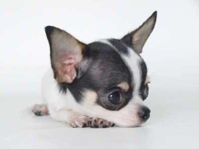 Black And White Chihuahua This Looks Just Like Wheat Bud Baby