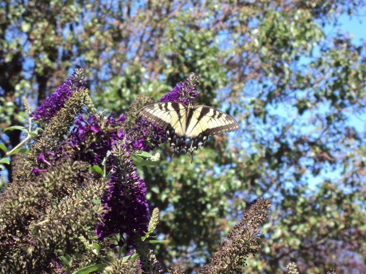 front yard butterfly.