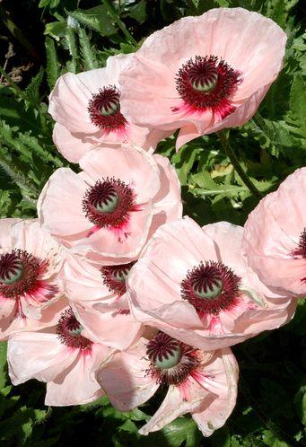 Fiche Plante Pavot Fleurs Avec Leur Nom Pinterest Tuin