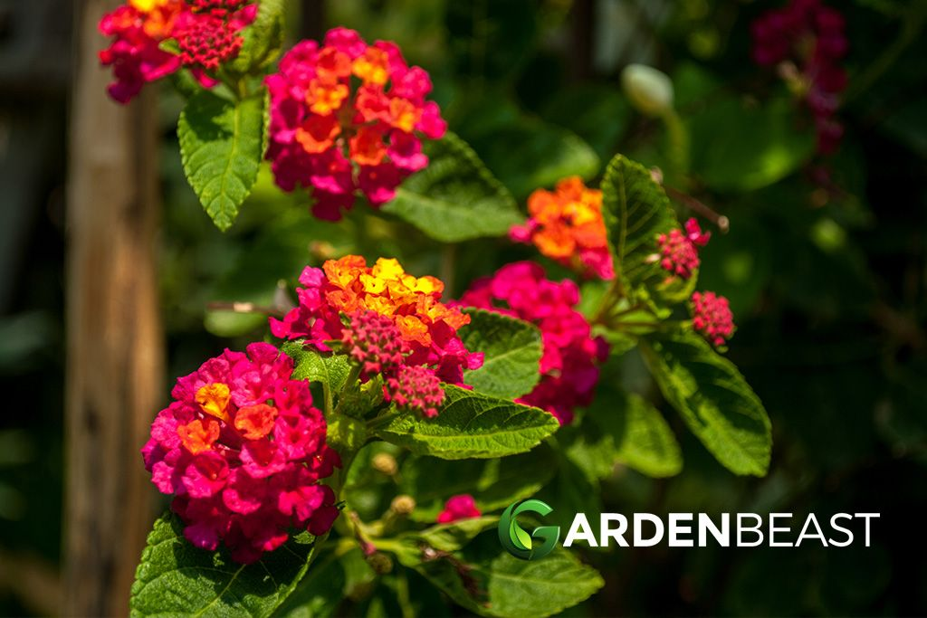 Complete Guide To Lantana How To Plant Care For Lantana Plants In 2020 Lantana Plant Lantana Plants