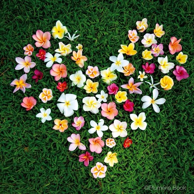 #love #plumeria #happyvalentinesday !