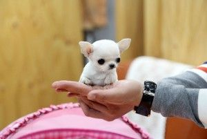 Teacup Chihuahua Puppies For Adoption Ashland Ky