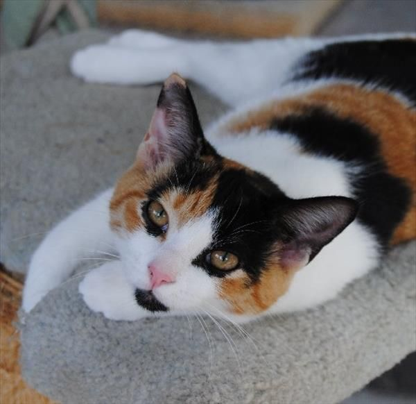 Hello I M Lokey As Pretty As A Princess I M Just Lounging Around The Noosa Rspca Animal Care Centre Waiting For You To Meet Me I Pretty Cats Pets Animals