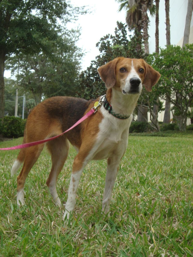 Adopt Tate On Treeing Walker Coonhound Beagle Mix The Fox The