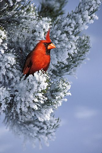 Cardinal on a snow covered pine from the garden to - Pictures of cardinals in snow ...