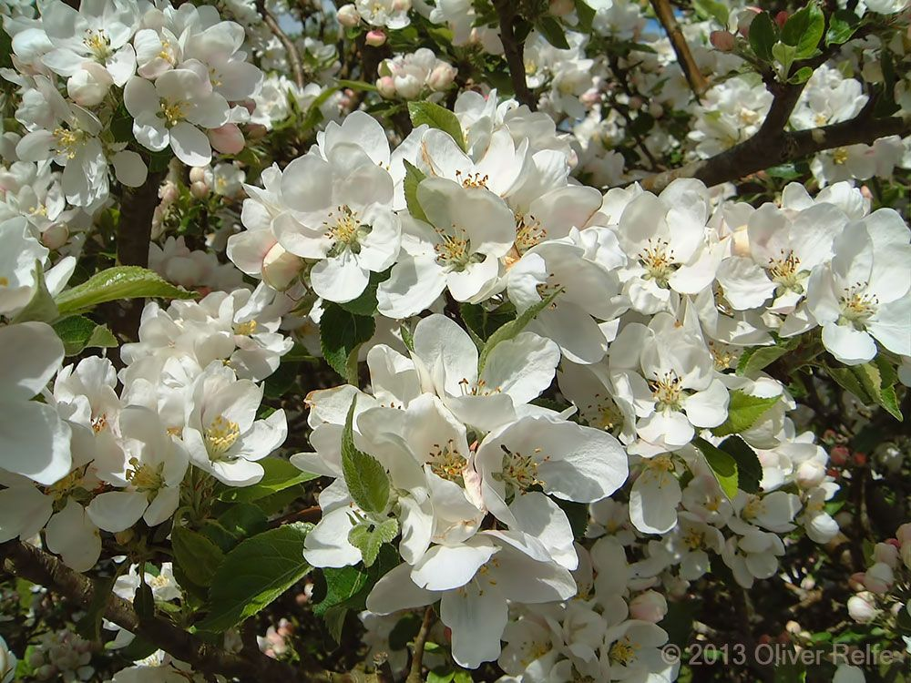 A Wonderful Spring For Discovery Apple Tree Blossom Apple Tree Blossoms Apple Blossom Blossom