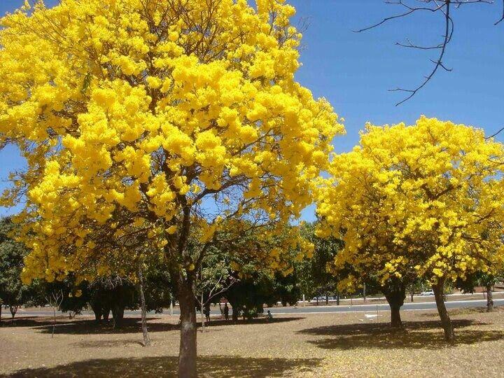 Brasilia - Ipe amarelo