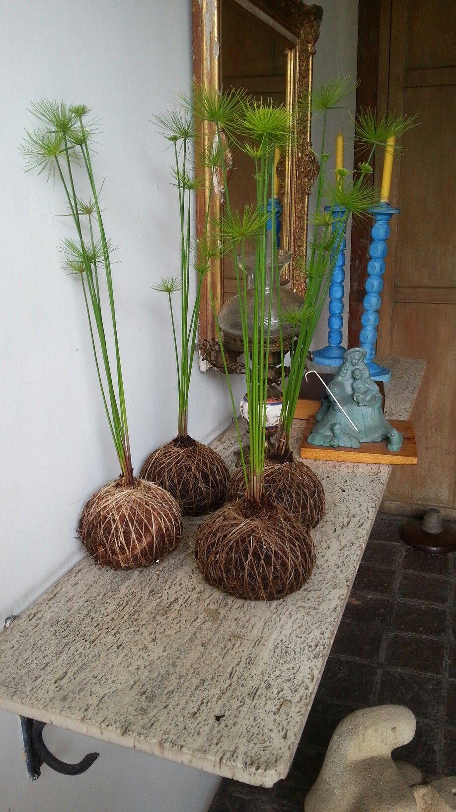 Kokedama papiro enano huerta jardin mini jardins for Enano jardin