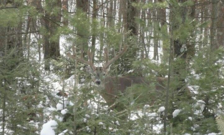 Stag in the Wood