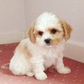 Cavashon Puppies Boys And Girls In Kidwelly West Glamorgan Wales Dp4133e41 Puppies Teddy Bear Dog Puppies For Sale