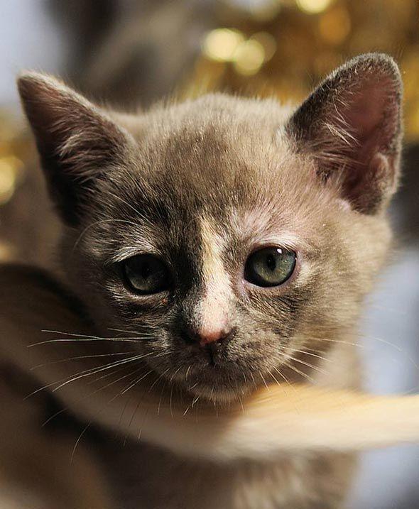 Darcy Lizzie Lottie Kitty And Bingley Redux Burmese Kitten Burmese Kittens Kittens Burmese Cat