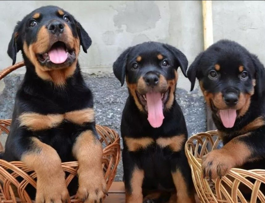 10 Best Rottweiler Dog Names Rottweiler Dog Names Dog Names Dogs