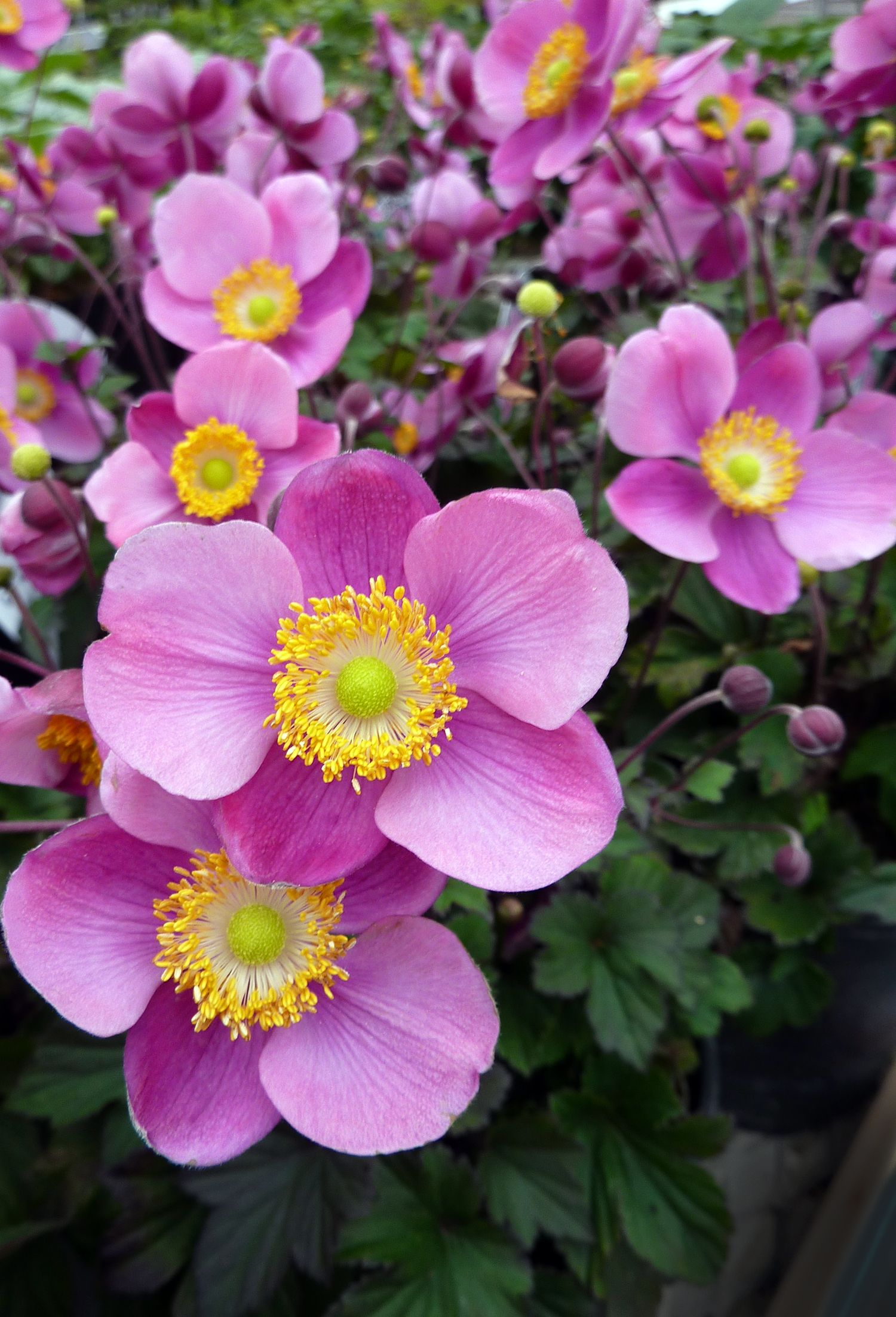 These Long Stemmed Lucky Charm Japanese Anemones Offer Gorgeous Violet Pink Flowers That Sit Atop New Foliage And Stems That Are Violet Tinted Pretty In The Pa