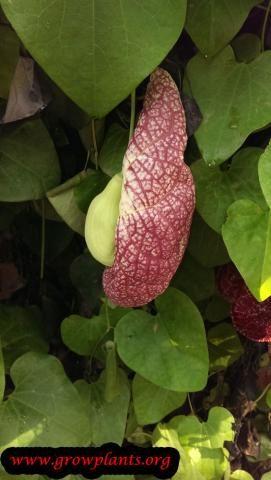 Photo of Aristolochia gigantea