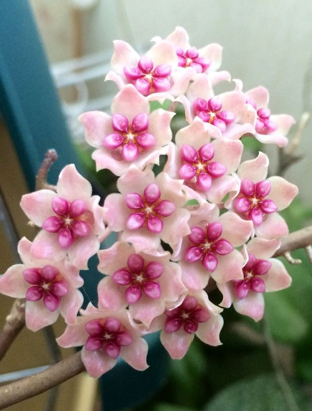hoya sweet scent sp - Google Search