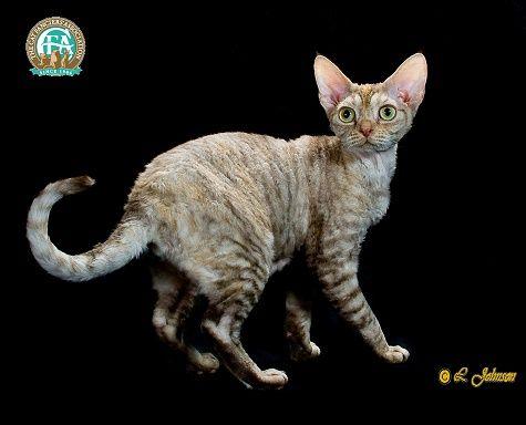 Devon Rex Devon Rex Cat Breeds Rex Cat