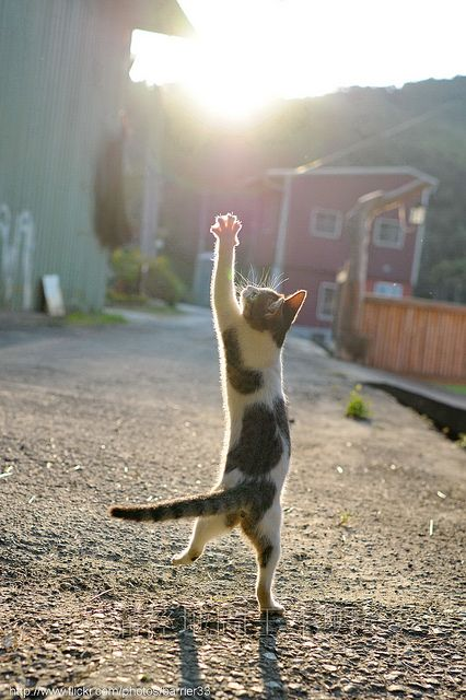 """""""There is nothing in the animal world, to my mind, more delightful than grown cats at play. Thy are so swift and light and graceful, so subtle and designing, and yet so richly comic."""" --Monica Edwards"""