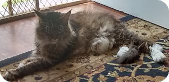 9 8 15 Woodstock Va Maine Coon Meet Mine Coon A Cat For