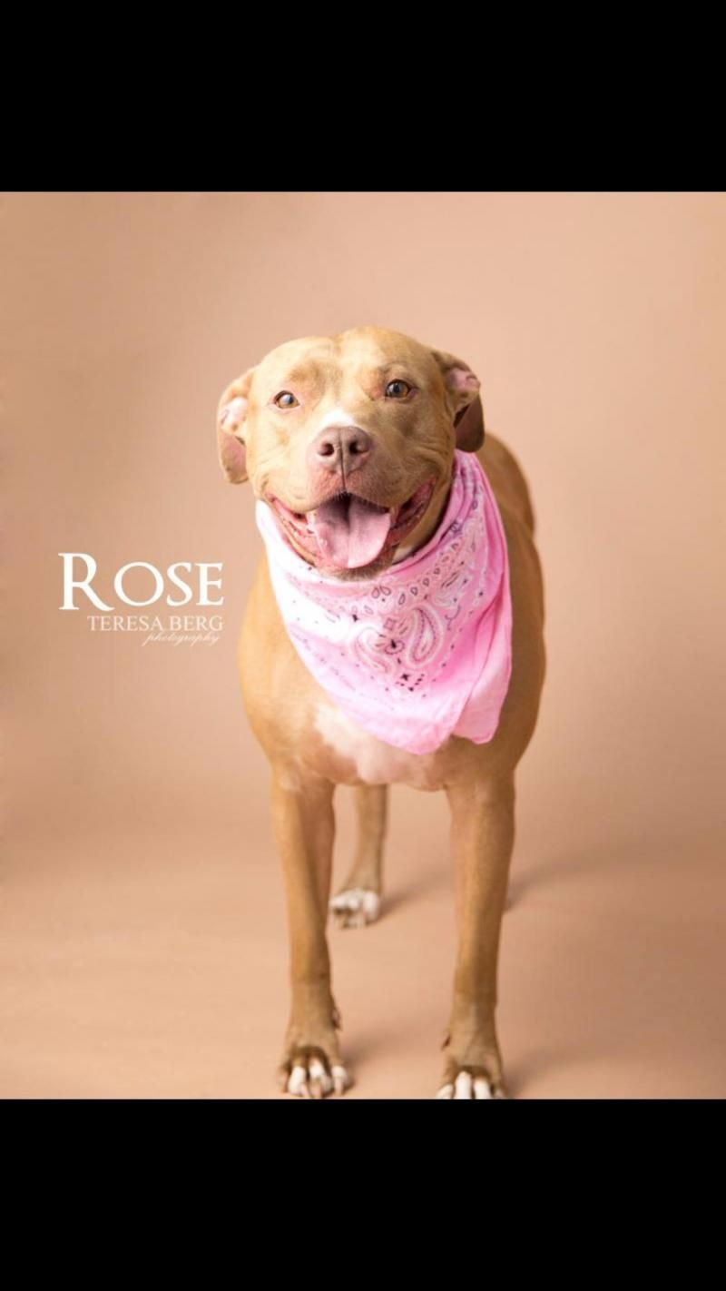 Adopt Rose On Pets Pitbull Terrier Bull Terrier Mix