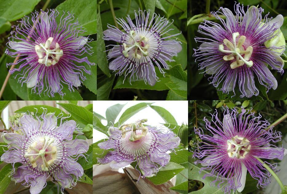 Passiflora Incarnata Apricot Vine Maypop Purple Passion Flower Passionflower Passionvine Passion Vine Purple Passion Flower Passion Flower Passion Vine