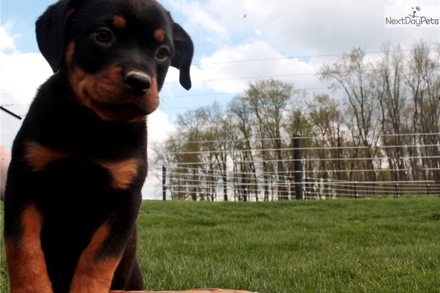 Rosie Rottweiler Puppy For Sale Near Tuscarawas Co Ohio