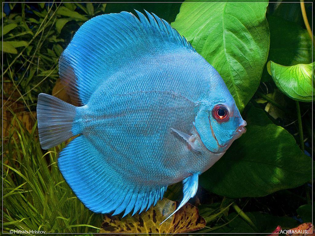 Diamond blue discus jpg 1 024 768 pixels aquarium for Blue freshwater fish
