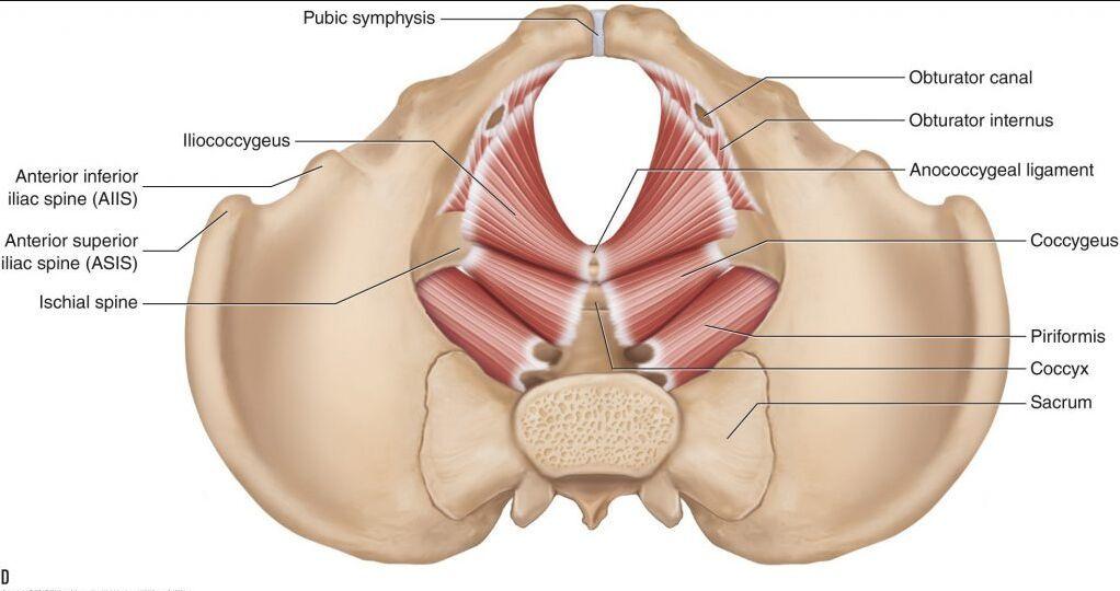 Inferior View Of Pelvis Bone And Pelvis Muscle Anatomynote