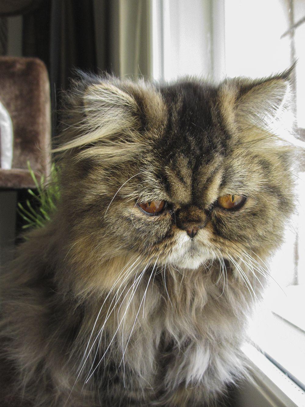 F*YEAH Persian Cats! Cats, cats, Persian cat