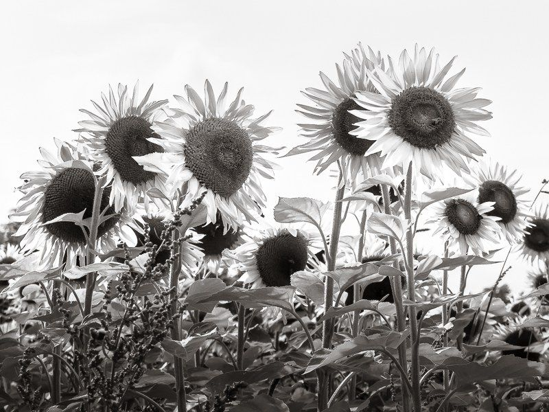 Black and white sunflowers photography print purchase at http goo