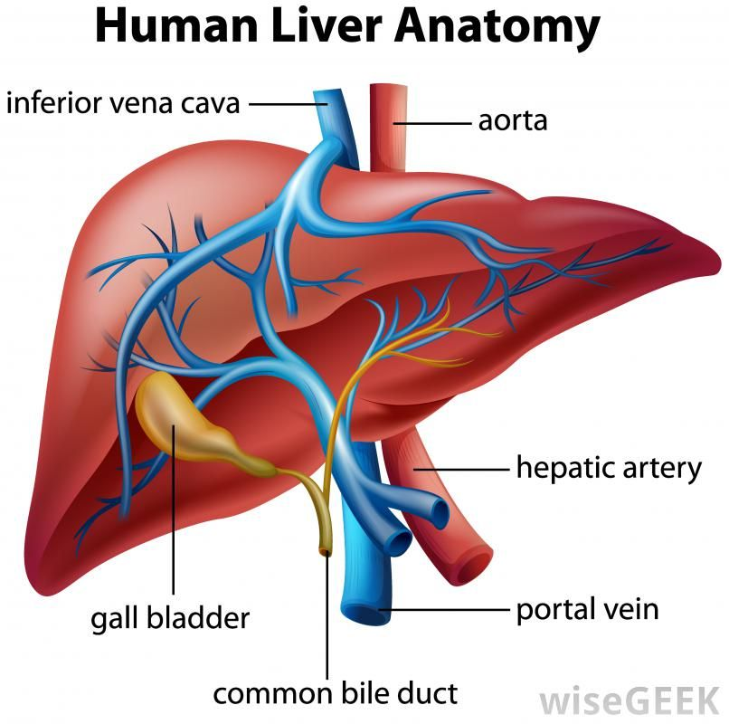 What Is The Hepatic Portal Vein With Pictures Mobile Wisegeek