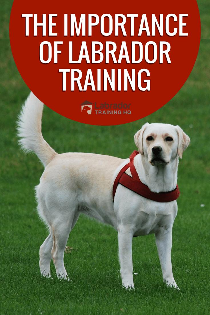The Importance Of Labrador Training Labrador Training Hq Labrador Retriever Facts Labrador Training Labrador Retriever