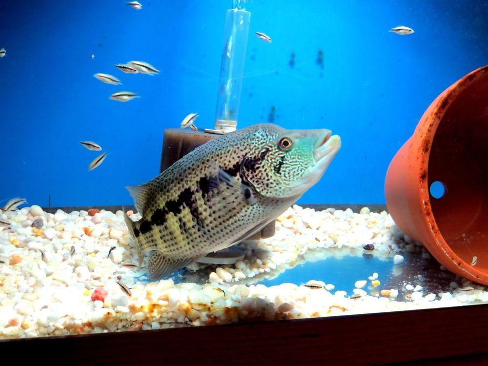 F1 Dovii Parachromis Wolf American Cichlids Live Fish Wild Caught