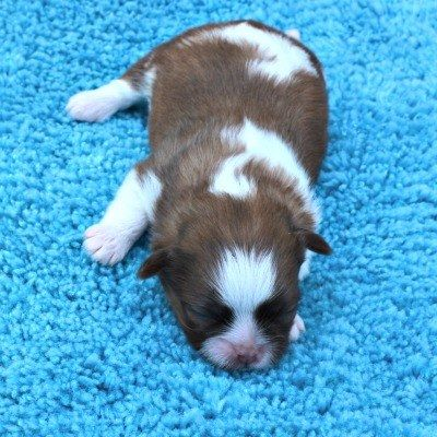 Shih Tzu Puppies For Sale in NE Ohio (Cleveland - Akron