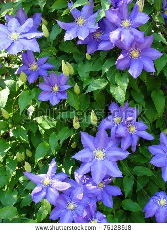 Climbing Vine Purple Flowers With
