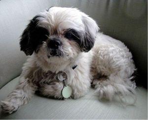 Adopt Mason On Shih Tzu Dog Dogs Australian Cattle Dog