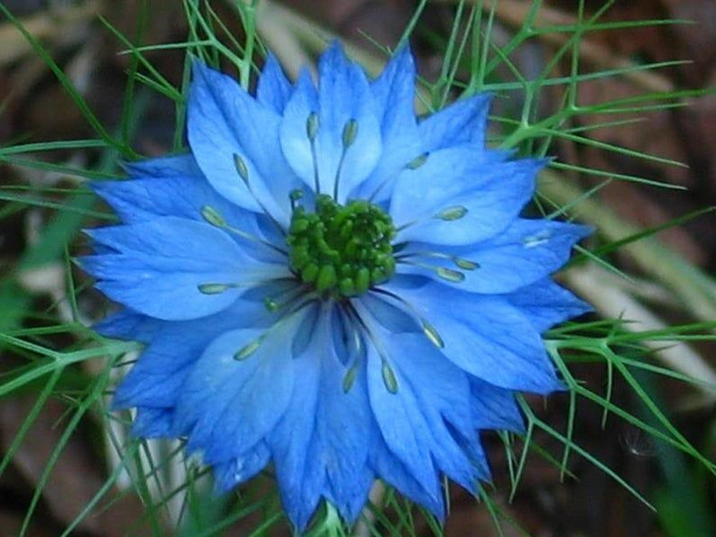 Love In A Mist Rare Flowers Beautiful Flowers Trees To Plant